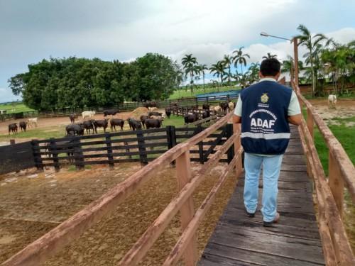 Adaf imuniza mais de 800 mil animais na segunda etapa da campanha 'Amazonas sem Febre Aftosa'