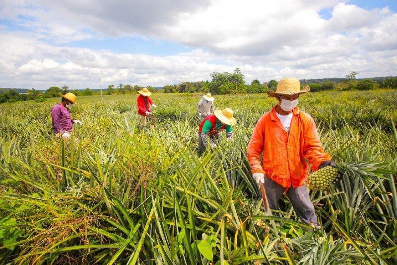 Governo do Amazonas impulsiona a produção de abacaxi na comunidade do Caramuri