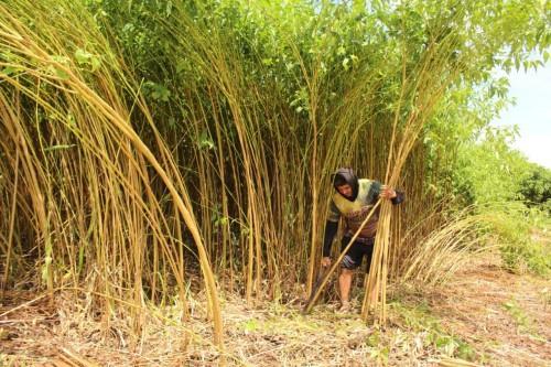 Governo do Amazonas, por meio da Sepror, impulsiona cultura de fibras naturais em Codajás e Manacapuru