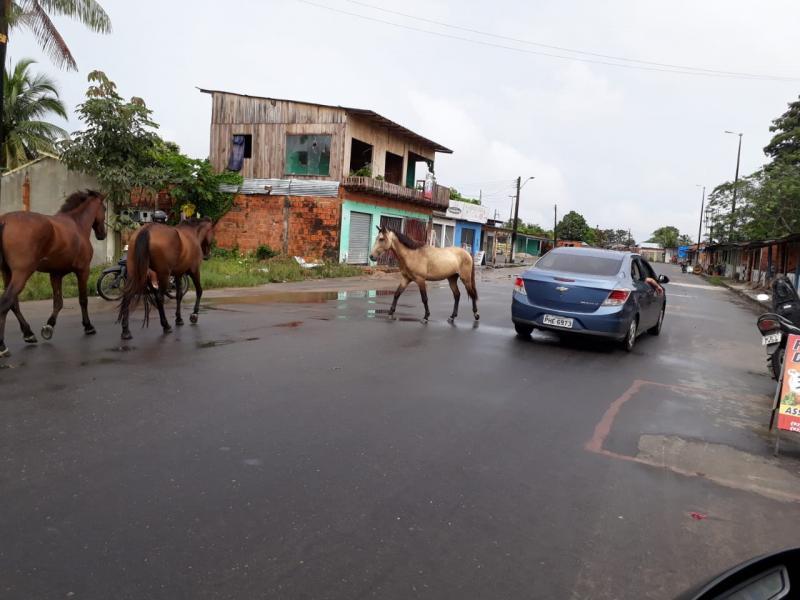 Condutores de veículos e pedestres dividem trânsito de Parintins com animais